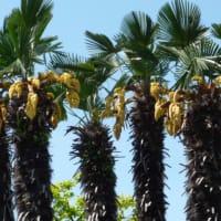 Parmarboj floras