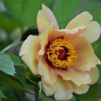 わが庭・・・黄色い牡丹咲く