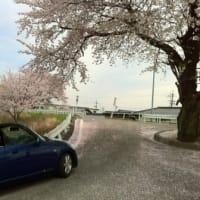 Copen & Sakura Tree