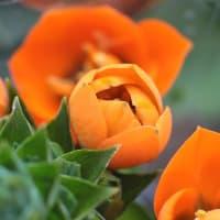 オーニソガラム・ダビウム - オレンジのオオアマナ