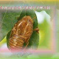 『 今朝はまだ鳴く声聞かず蝉の殻 』物真似575zqr1604
