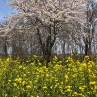 大潟村「桜・菜の花ロード」