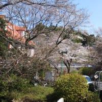 昨日(26日)と今日(27日)の桜