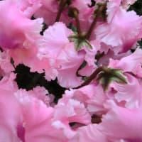 ファルバラローズの花は