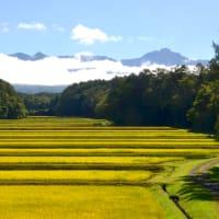 朝日に光る八ヶ岳山麓と木々が縞模様つくる山道を走りコーヒーを配達する。