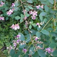 秋の紫 コムラサキとヤマハギ