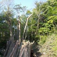 ミズキの木の伐採