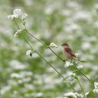 白そばの花畑でノビタキ~①~