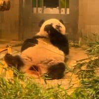 日乗 diary - 香香(シャンシャンXiang Xiang)5 in 上野動物園 Ueno Zoological Gardens