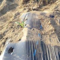 トウモロコシの定植開始