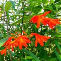 クロコスミア開花♪