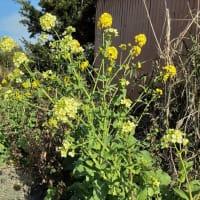 行橋市で菜花の収穫が最盛期