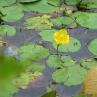 ハンゲショウなど~神代植物公園(7月6日④)