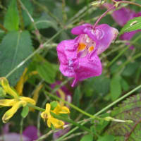 ツリフネソウと各種花