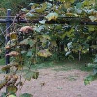 葡萄が色づく