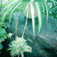 ●我が家の10月の花(12) オリヅルラン