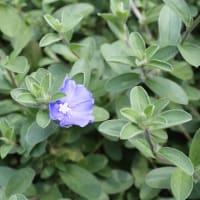「おはようの花」 エボルブルス(アメリカンブルー) 7月