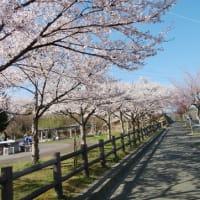 宮古の桜🌸満開!