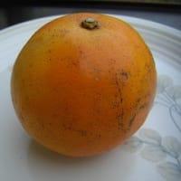 カラー・セミノール・福原オレンジ ~晩柑類いろいろ