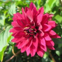 【第九回 ダリアの華展】①和柄 一万輪のダリアの花で彩る