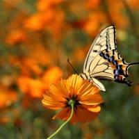 アゲハと黄花