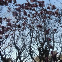 彼岸の入り 紫木蓮の花咲く