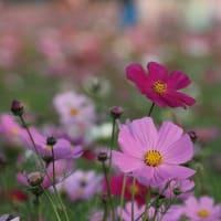 フォト575zqq2303『 ひとりゆえひとりと和える秋桜 』