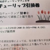 第32回佐倉チューリップフェスタ