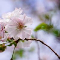 桜咲く(立神)