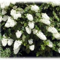 梅雨時に美しい花が…(^^♪カシワのような大きな葉のもつ豪華な大きさの「カシワバアジサイ(柏葉紫陽花)」