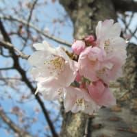 桜・大寒桜(オオカンザクラ)