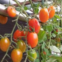 鉢植えのトマト、今朝もこんな状態でぼつぼつ熟れています