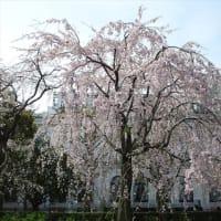 「枝垂桜」/山下公園2020