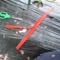 小玉スイカ(空中栽培)16個がぶらり