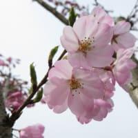 桜ニューフェイス~宇治川Weekly散歩200322 (1)