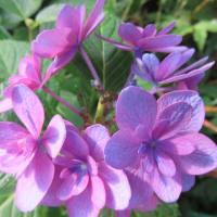 紫陽花「ハイジ」 5