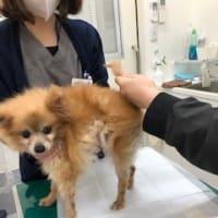 ブリーダー飼育放棄犬・ココちゃん獣医さんでウンチを