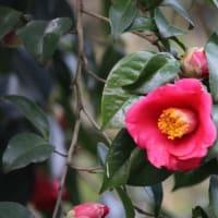 兼六園の椿の花