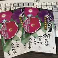 庭作り67春夏花壇③・・アサガオ観察①