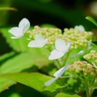 ●我が家の5月の花 ユキノシタ(雪の下) ヤマアジサイが開花  ラデッシュ(二十日大根)の収穫