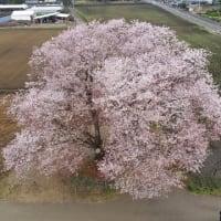 国富大坪の一本桜と西都原の菜の花