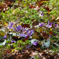 さくらの開花とリキュウバイ