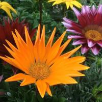 ガザニアの花は