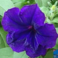 秋社に濃紫星6番7番咲いてのつづき