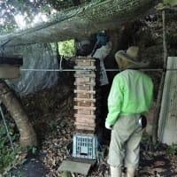 日本ミツバチの蜂蜜を採蜜しました/選挙ポスター高い? 公費負担、価格検証が必要