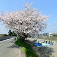お花見に、桜が満開。