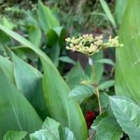 オサンポ walk - 植物plant: ヤブカラシ藪枯らし a Cayratia japonica