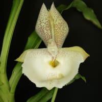 ベネズエラの国花:カタセタム・ピレアタム