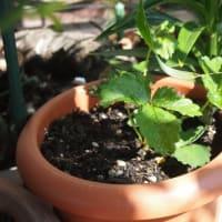 種からイチゴ栽培 その2