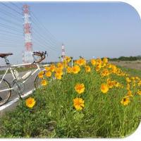 『オオキンケイギク』…矢作川